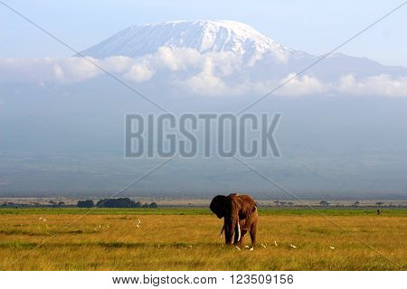 Beautiful african elephant at the highest peak of Africa Kilimanjaro.
