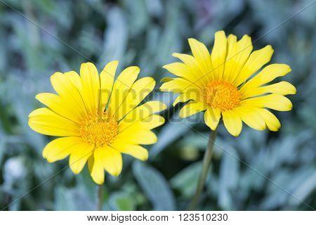 Gazania blooming in springtime in Northern California.