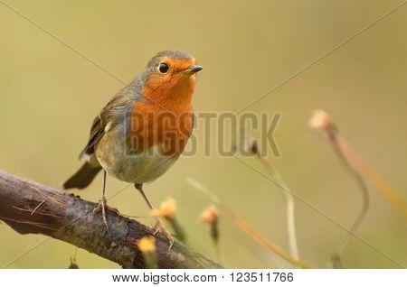 European Robin in natural habitat - Erithacus rubecula