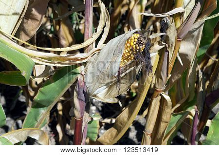 An ear of yellow corn ripen in a cornfield in Plainfield, Illinois during September.