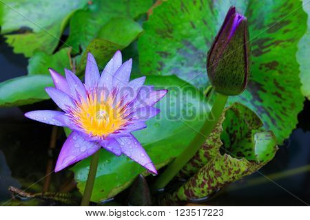 Close Up Blooming Water Lily Or Lotus Flower In The Sink.