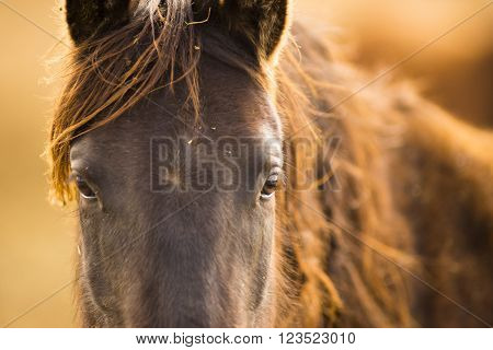 Wild Horse Face Portrait Oregon Territory Equestrian Rust Color