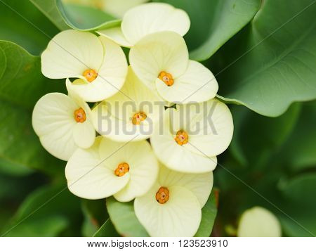 Yellow Crown of thorns flowers with green leaves