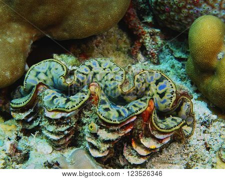 The surprising underwater world of the Bali basin, Island Bali, Pemuteran. Enormous clam
