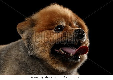 Close up head of Cute Red Pomeranian Spitz Puppy in Profile view isolated on Black Background