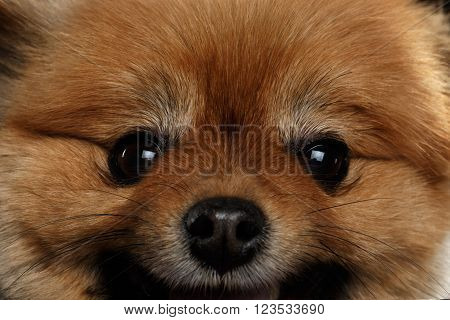 Close up Face of Cute Red Pomeranian Spitz Puppy isolated on Black Background