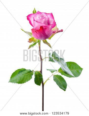 Single Abstract Romantic Beautiful Pink Rose Flower With Leaves Is Isolated On White Background, Clo