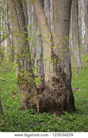 Hornbeam Forest
