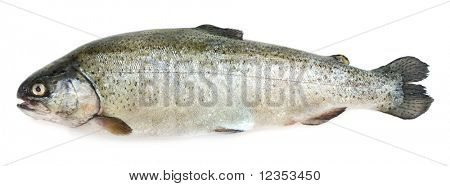 Trout on white background. XXL size
