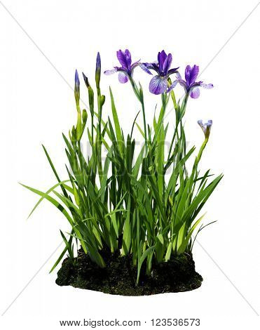 Purple iris flower plant isolated on white background