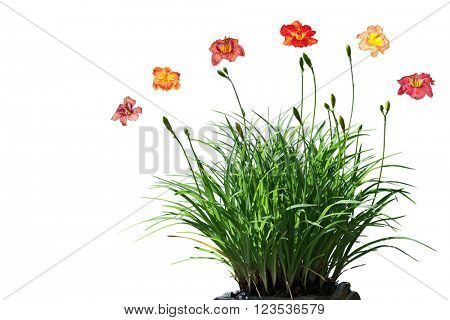 Daylily flower plant isolated on white background