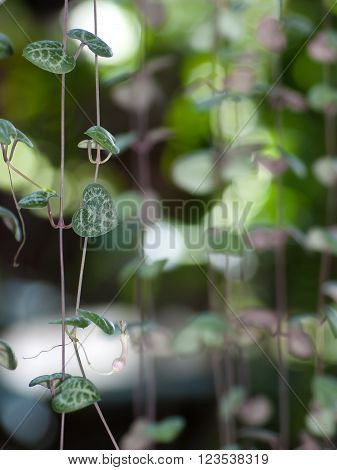 String of hearts with flower may use for valentine's day or love theme. Ceropegia woodii Family Asclepiadaceae Common names include chain of Hearts, collar of hearts, string of hearts, rosary vine, hearts-on-a-string, sweetheart vine.
