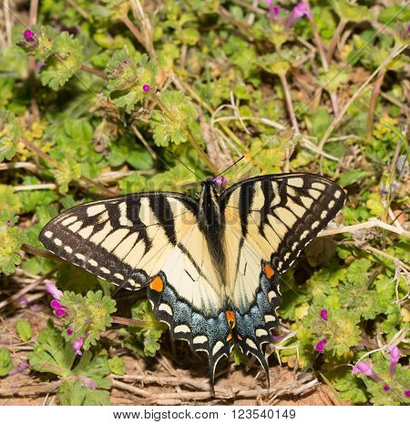 Beautiful female eastern Tiger Swallowtail butterfly feeding on tiny Henbit flowers in spring