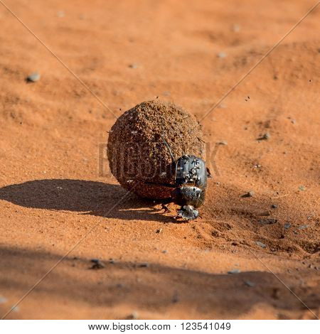 A Green-grooved Dung Beetle pushes a dung ball along a red sand track in the Northern Cape South Africa