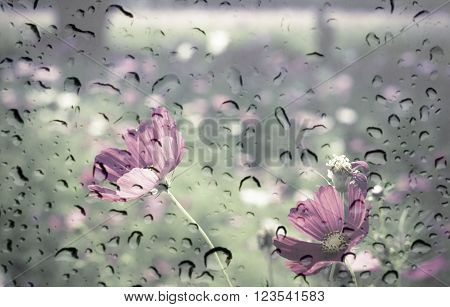 Pink Color Of Cosmos Flower Field On Waterdrop On Glass Texture Background. Vintage Color Tone With