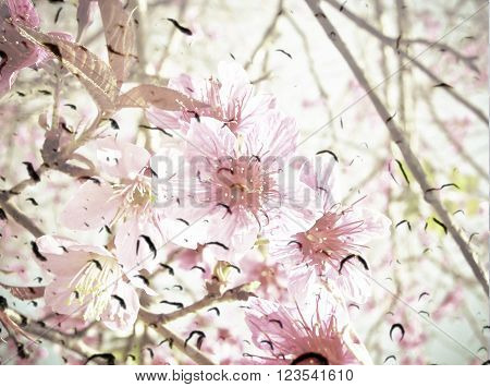 Cherry Blossom Or Sakura Flower On On Waterdrop On Glass  Texture Background.  Vintage Color Tone Wi