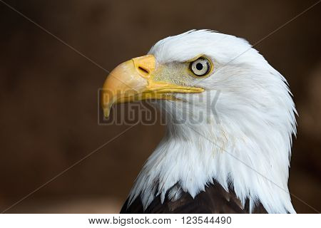 Close up of Golden Eagle head profile and turned to the side