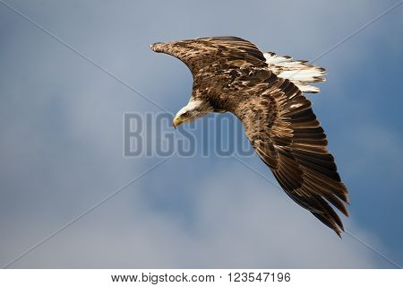 Immature of beautiful white-tailed eagle in flight in the blue sky