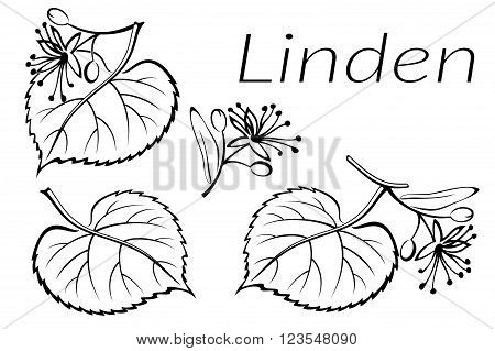 Set of Plant Pictograms, Linden Tree Leaves and Flowers, Black on White. Vector