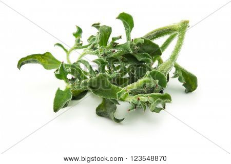 Ice plant (Mesembryanthemum crystallinum) Isolated on white. Has transparent bladder cells on the outer surface. Known for its culinary properties and is used for preventing desertification of land.