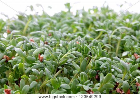 fresh eastre  Cress, cuckoo flower on white background