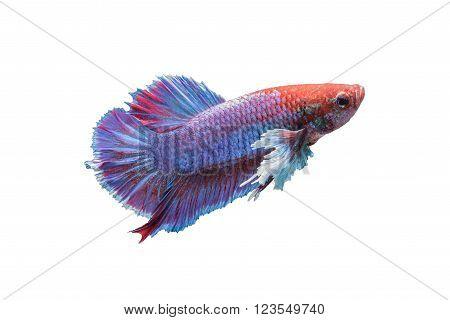 Betta fish isolated on white background siamese fighting fish