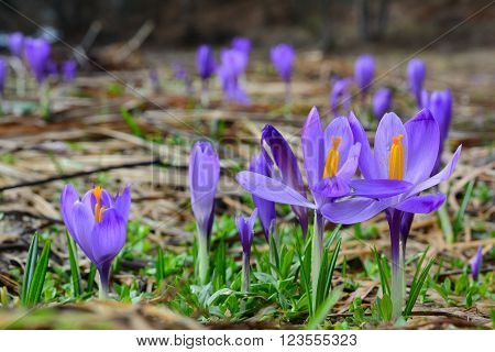 Many spring Crocus biflorus flowers on mountain meadow in early spring