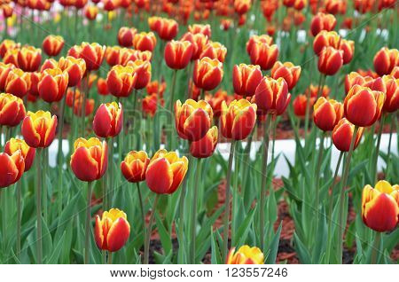 Tulip. colorful tulips. tulips in spring, colourful tulip