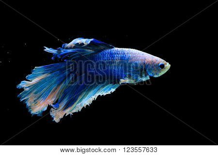 moment shot of figher fish on black background ** Note: Visible grain at 100%, best at smaller sizes