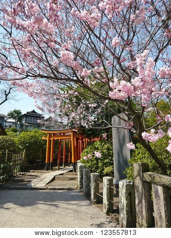 Bright pink cherry blossoms at Japanese temple