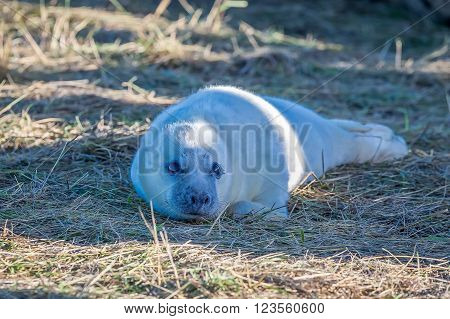 Grey Seals Pictured  On Beech At Donna Nook In The UK