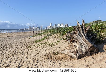 Tree Stump Driftwood With Durban Beachfront In Background
