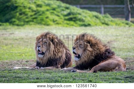 Pair of male lions in a uk zoo
