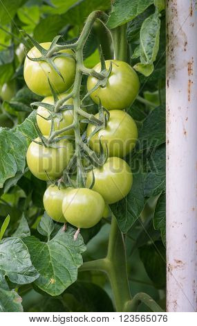 Bunch of ripening tomatoes hanging on a hairy stalk in a large specialized tomato nursery in the Netherlands. The tomato plants are grown in a glasshouse on substrate and with liquid food.