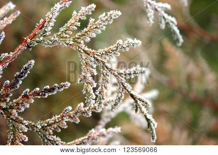 Branches of juniper covered with cobwebs and hoarfrost