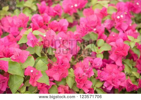Beautiful Close Up Pink Flower in garden.