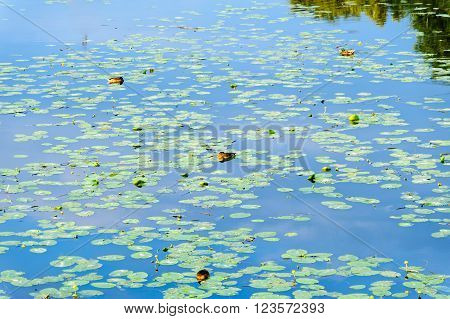Ducks surrounded by waterlilies at a serene and still section of Nogat River