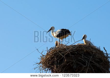 Storks in the nest on the blue sky background. Family birds storks in their home. Beautiful birds. Storks in a large nest of branches.