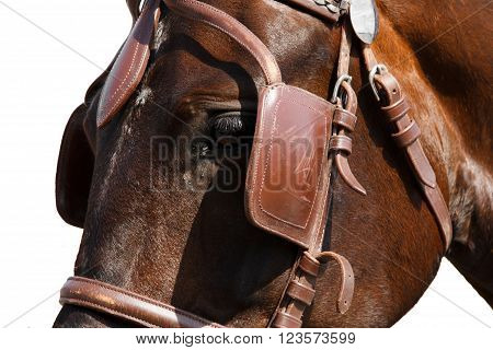 Face horse in bridle close. The sight of a horse. Horse isolated on a white background.Thoroughbred horse chestnut suit.