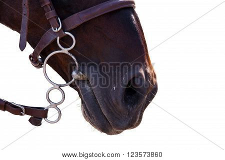 Lips of the Horse in bridle close. The sight of a horse. Horse isolated on a white background. Thoroughbred horse chestnut suit.