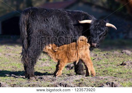 Black Scottish highlander mother cow with drinking newborn calf in spring season