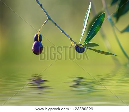 Olive tree with fruits, natural  agricultural food  background with water reflection