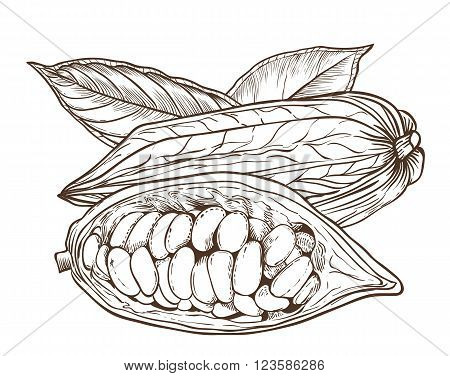 Cocoa vector isolated on white background. Cocoa beans. Engraved vector illustration of leaves and nuts of cocoa. Cocoa in vintage style.