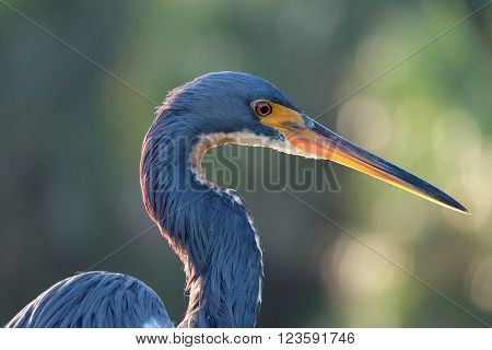 Extreme close up of a Tricolored Heron in profile