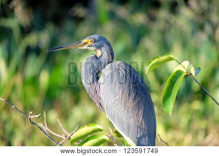 Close up of a Tricolored Heron perched on a tree