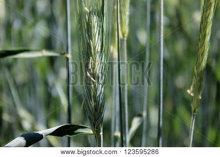 Green rye spike in the sunshine field. Rye spikes growing in the field. Rye grain plant in the wildlife.