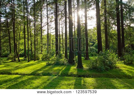 Pine trees in a park in backlight, natural scenery