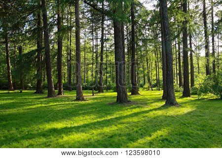 Pine trees in a park, natural scenery