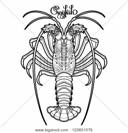 Graphic vector crayfish drawn in line art style. Spiny or rocky lobster. Sea and ocean creature isolated on white background. Top view. Seafood element. Coloring book page design