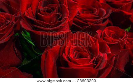 buds scarlet roses closeup. flowers of love.